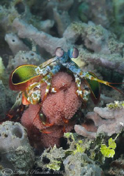 Peacock mantis shrimp with eggs. Lembeh straits. D200, 60mm. by Derek Haslam 